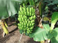 바나나효능 6가지 알아보아요