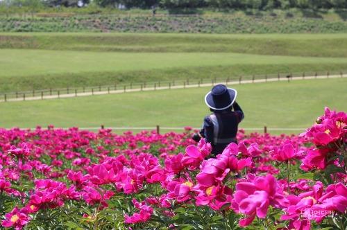 2017 의성 조문국사적지 아름다운 작약꽃밭
