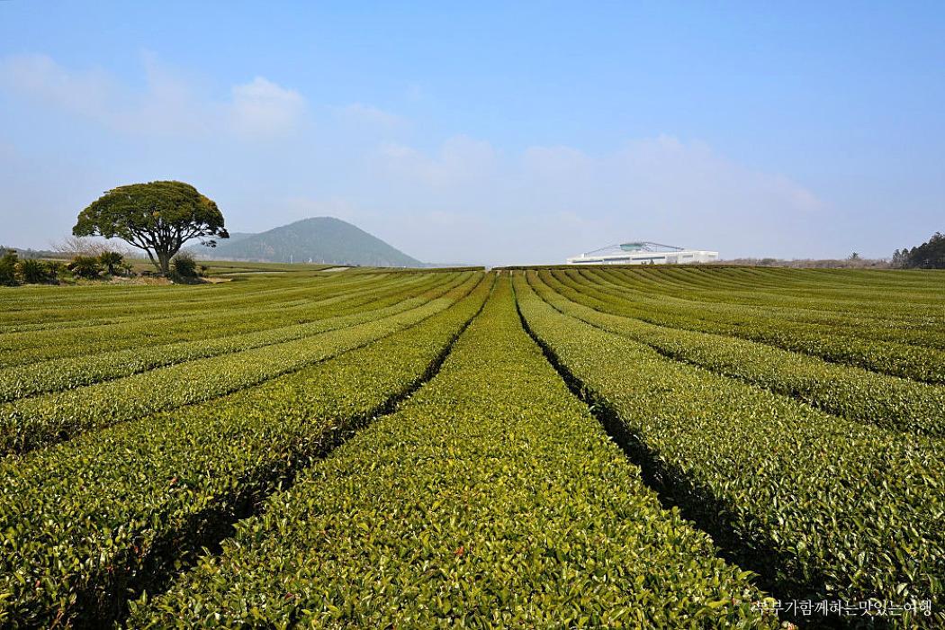 [제주여행] 초록 물결의 녹차밭이 전해주는 상쾌함, 제주 오설록