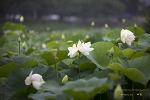 철마 연꽃지 雨中蓮花 (우중연화)