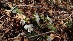 남산제비꽃