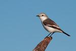 쎄아라 Ceará 에서 만난 새