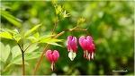 4월의 예쁜 꽃 금낭화