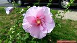 캐나다 땅에 우리나라 꽃 무궁화가 피었습니다!