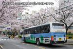 부산 벚꽃 개화 시기 및 도심에서 즐길 수 있는 부산 벚꽃 나들이 명소
