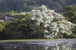밀양 위양지 이팝나무