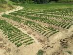 대명이네 인삼농장 우슬(쇠 무릎) 밭