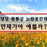 장성황룡강 노란꽃잔치(축제) 2017 절정시기는 언제?