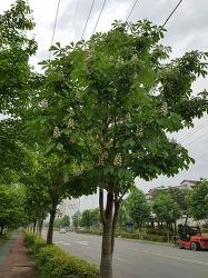 증평 가로수 꽃 나무의 이름은??