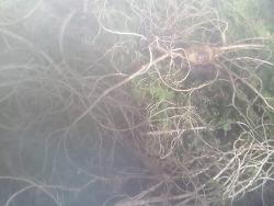 자연발아 씨 산삼 기록 사진 (산원초)