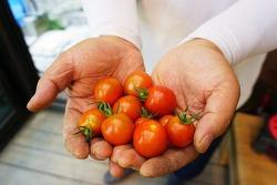 작물근황 - 방울토마토, 호박, 고추 외