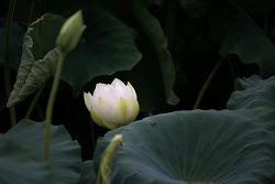 #131 기품있는 흰색 연꽃...(백련) -2-
