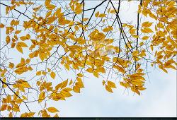 나뭇잎, 단풍