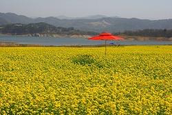 [전북 진안] 용담댐 호숫가 유채꽃밭, 진안 금지배넘실마을