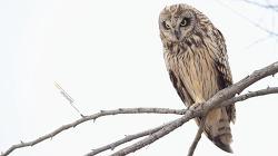 쇠부엉이를 바라본 화각 부엉이도 크다~ 띠~옹~ Short-eared owl