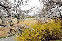 <청주>청주의 명소 -무심천 벚꽃길(4월1일)