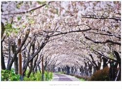 부산 대저생태공원 벚꽃길에서