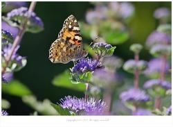 [9월 야생화] 층꽃나무(층꽃풀) - 호흡기.피부과 질환에 효능 산야초