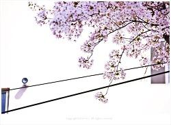 소복히 쌓인 꽃잎도 아름다운 벚꽃
