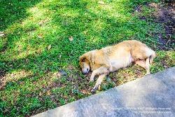 태국 치앙마이 여행 / 개와 고양이의 천국 태국 - 길거리개들