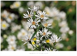 [10월 야생화] 미국쑥부쟁이(중도국화.털쑥부쟁이) - 신귀화식물.생태계교란식물
