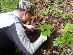 자연산삼 (산원초)