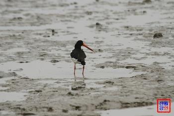삼색이 어울리는 검은머리물떼새의 아름다운 자태