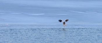 참수리 한강의 시원한 물 마시다 Steller's sea eagle #1