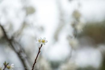 매화, 벚꽃, 진달래