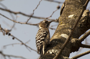 쇠딱따구리 Pygmy Woodpecker