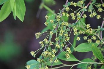 조팝나무 열매