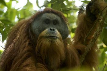 """100년만에 발견된 새로운 동물 """"타파눌리 오랑우탄"""""""