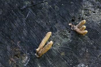 콩꼬투리버섯