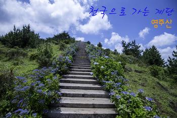 제주도 최고의 산수국 명소, 영주산 천국으로 가는 계단