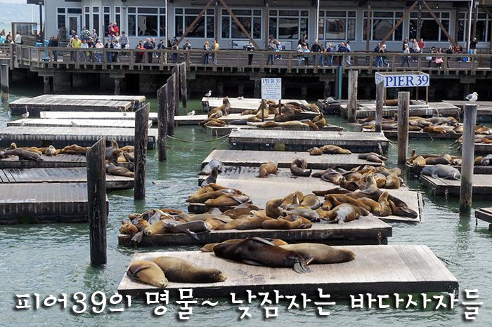 피어39의 명물~ 낮잠자는 바다사자들