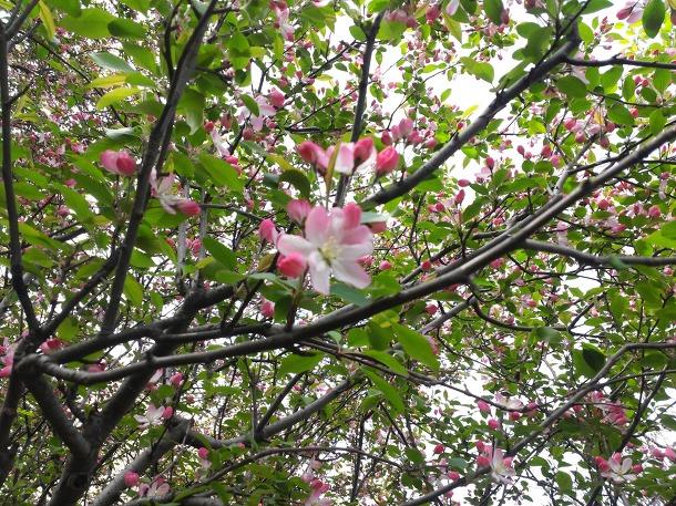 아그배나무꽃