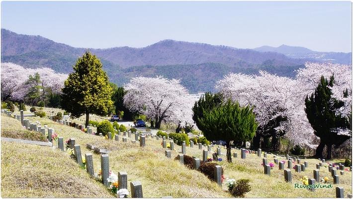 벚꽃만발한 백운공원