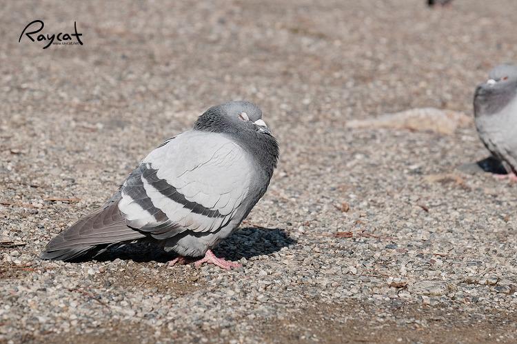 포동포동 살이 찐 비둘기