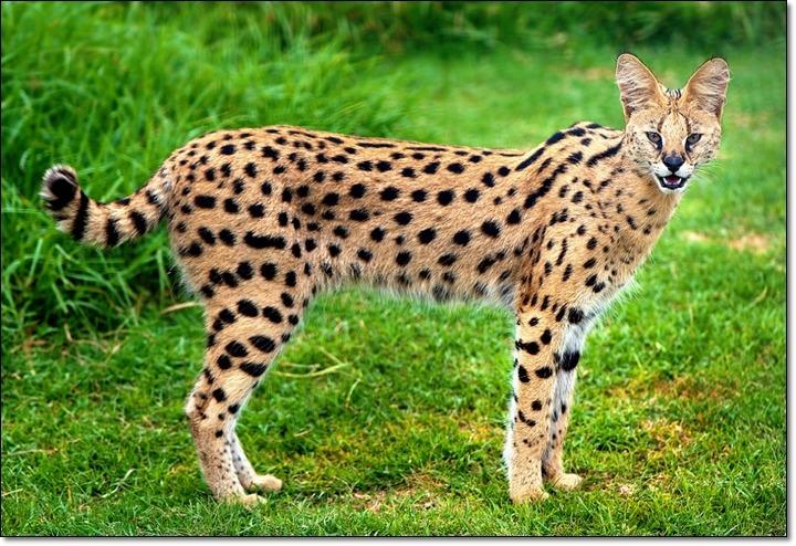 [서벌]얼굴은 아기 고양이 몸통은 치타 서벌캣