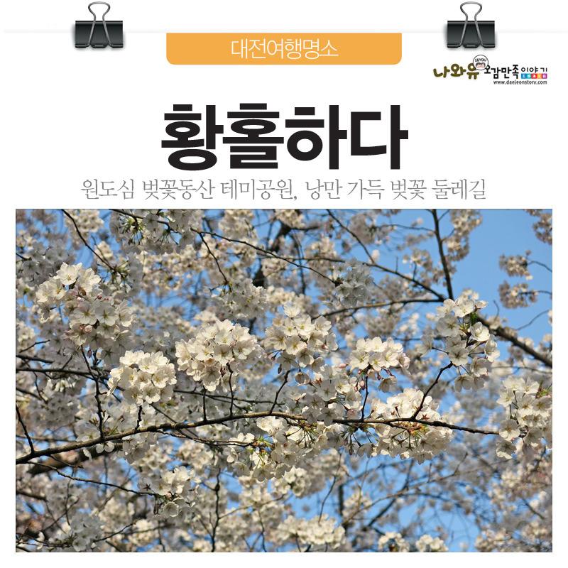 원도심 테미공원 벚꽃