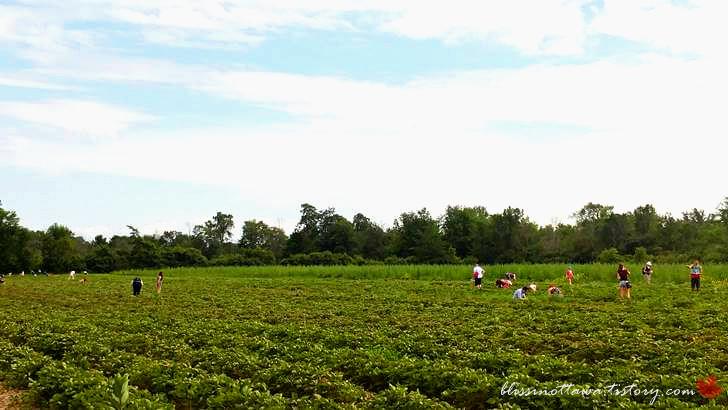 캐나다 딸기밭입니다
