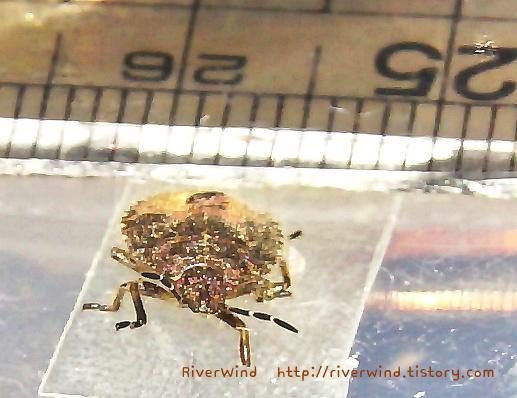곤충접사 노린재