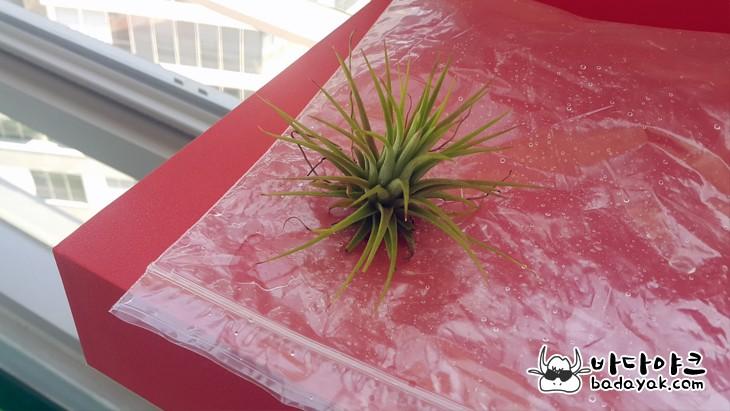 애완실물로 인기 높은 먼지 먹는 식물 틸란드시아