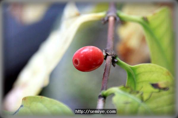 관엽식물-힐링-웰빙-추미-식물-무초-허브-애완동식물- 물주기-커피나무-식물관리-허브- 관엽식물- 동양란-커피-커피나무-커피나무 기르기-서양란-물주기-땅-거름