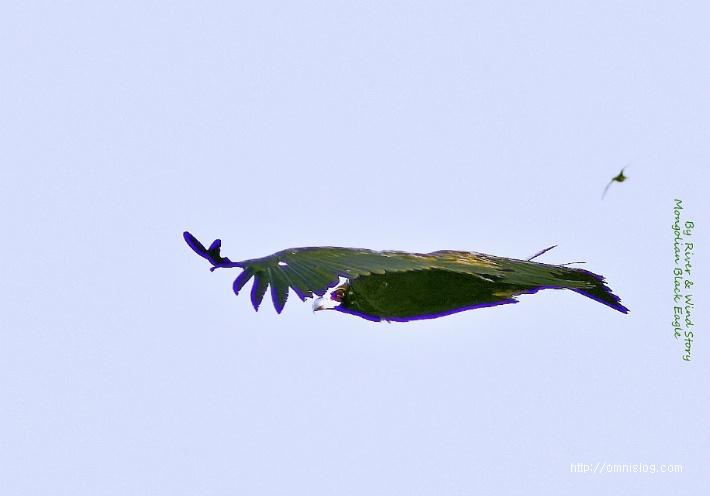 몽골 독수리의 멋진 비행장면 Mongolia Black eagle flying::OmnisLog
