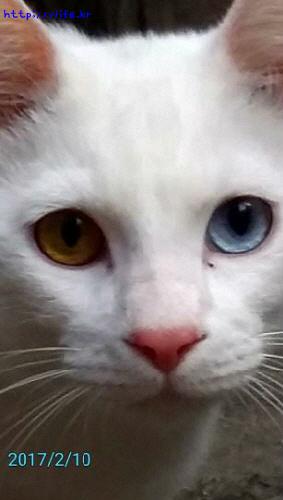 오드아이 고양이
