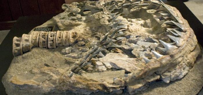 메갈로돈 화석 Megalodon fossil