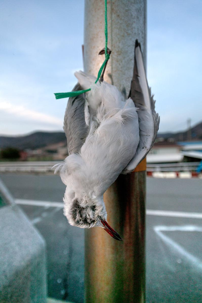 사천에있는 어촌마을에서 촬영한 사진-죽은 갈매기가 놋끈에 묶여 전봇대에 메달려있다.