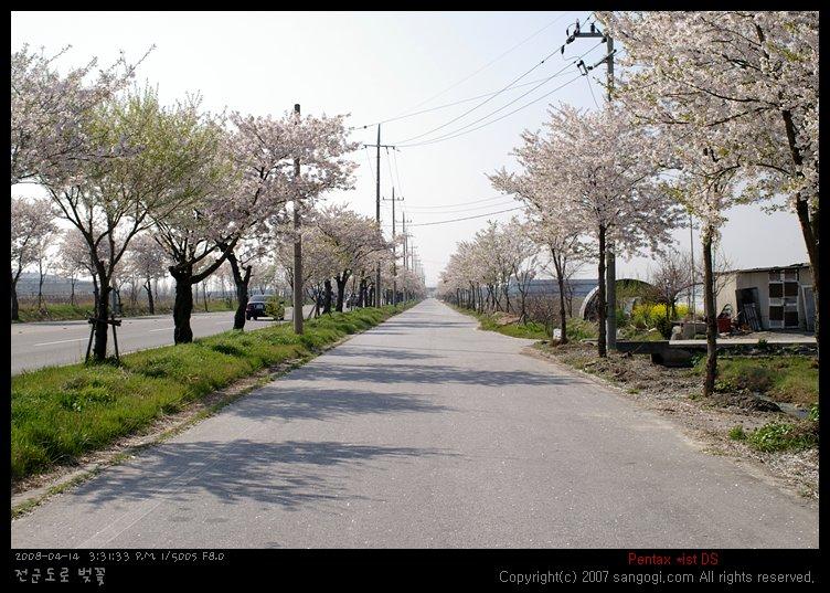 전군도로의 벚꽃