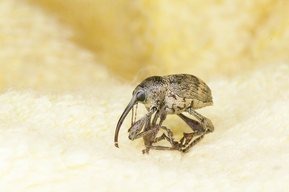 코가긴 괴상하게 생긴 바구미라는 곤충사진